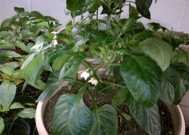 pepper plant sown from seeds indoors